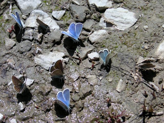 Trois exemplaires de Polyommatus amor H. C. LANG, 1884 ; un ex. de Polyommatus pheretiades pherecydes EVERSMANN, 1843 et 4 ex. d'Eumedonia eumedon ESPER, 1780. Anzob Pass, 4000 m, 1er juillet 2008. Photo Jean-Marie Desse