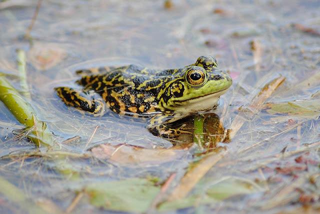 Mink Frog