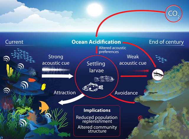 The effects of ocean acidification on fish orientation and soundscapes. Graphic: Dr Tullio Rossi