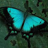 Arfak2007PapilionidaePieridae