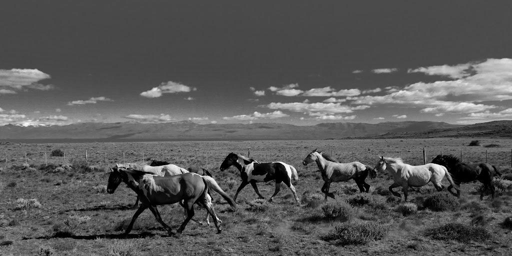 Argentinische Wildpferde - El Calafate (Argentinien)