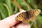 Melitaea phoebe på hånden.jpg