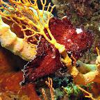 Red leaffish (Menjangan, North Bali)