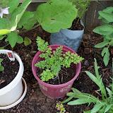 Gardening 2010, Part Two - 101_2699.JPG