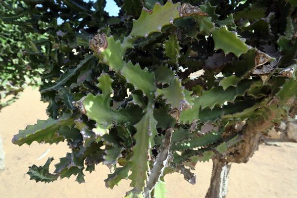 Christmas Cacti Leaf