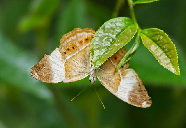 Cirrochroa orissa orissa Felder, 1860. Kampung Bukit Samsu, Kota Tinggi, Johor (Malaisie), 4 août 2014. Photo : T. Boucher