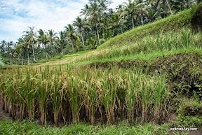 Tarasy ryżowe obok Gunung Kawi