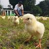 Peternak Menjerit, Ayam Tak Ada Harganya Akibat Pandemi