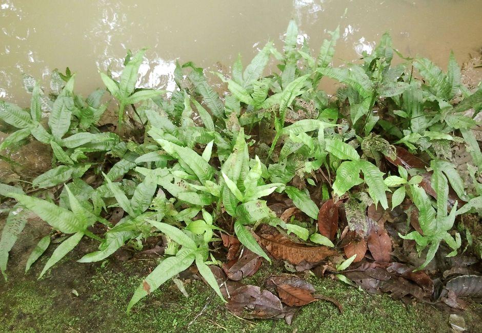 Папоротник таиландский (Microsorum pteropus)