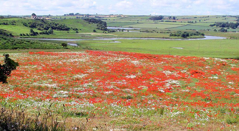 Mohnfelder und der River Aln bei Alnmouth