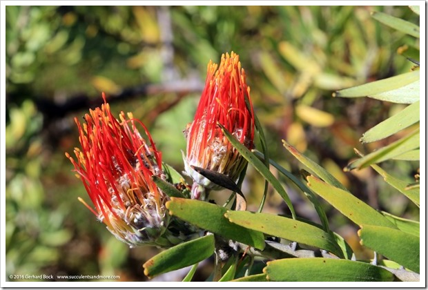 160813_UCSC_Arboretum_Leucospermum-erubescens_002
