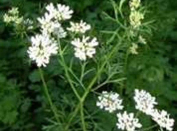Coriander {Coriandrum Sativum}: This warming oil can be very good for dry chapped hands,as...
