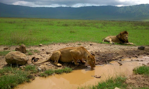 leones_lions_ngorongoro_tanzania_hisiasafaris.com_.jpg