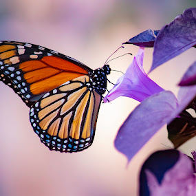 Butterfly by Duane Vosika - Animals Insects & Spiders ( landscapes, omaha, natural, nature, composition, butterfly, bokeh, purple, nebraska, monarch, flower )