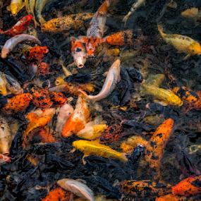 Koi Pond by Christopher Pischel - Animals Fish ( koi, fish, zoo )