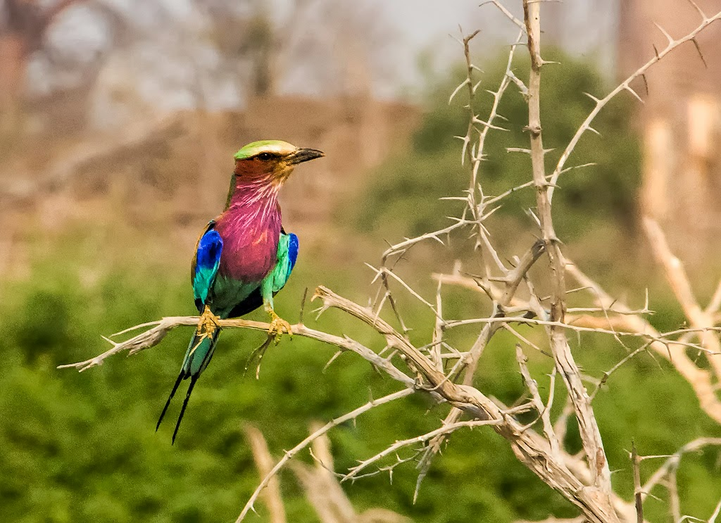 """Lilac Breasted Roller"" by Jeanne Phelps -- 2nd Place Digital Special A"