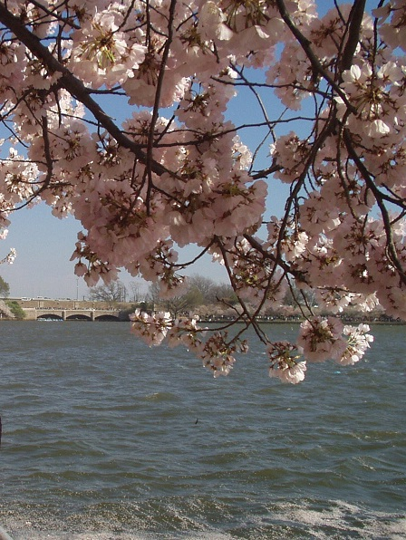 cerejeiras em washington