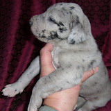 Jessie's blue merle female @ 3 weeks