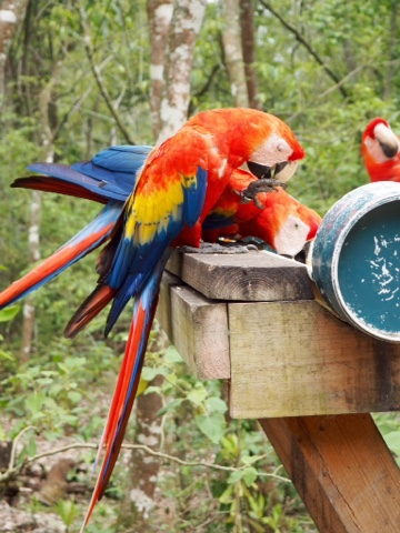 Scarlet macaw parrots at Copan ruins, Honduras