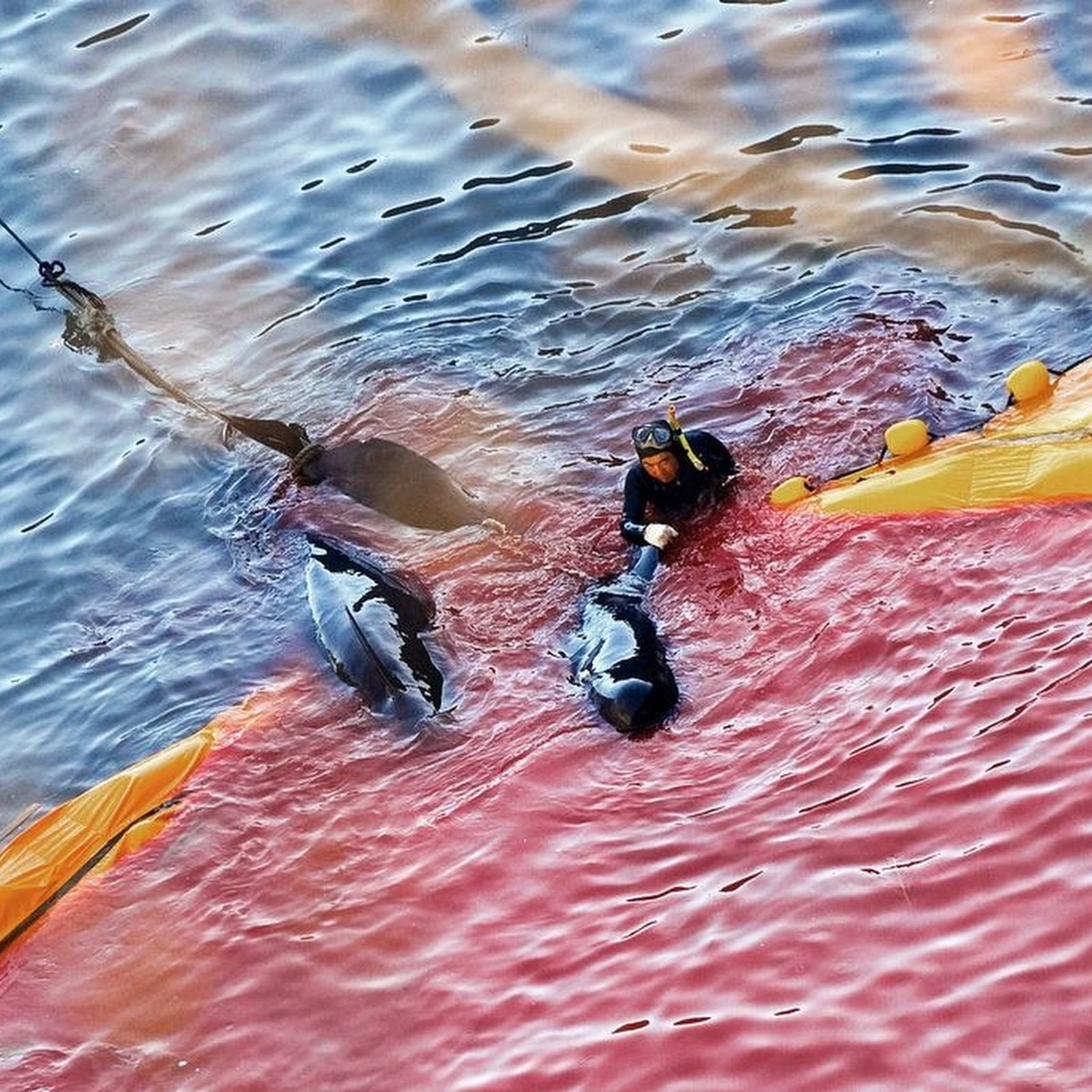 Japan's Notorious Taiji Dolphin Hunt