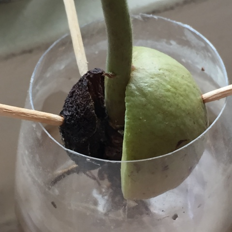 how to grow avocado pit in water
