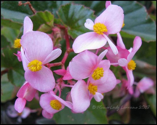 04-16-pink-begonia