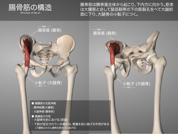 2014-28a_13_腸骨筋の構造.png