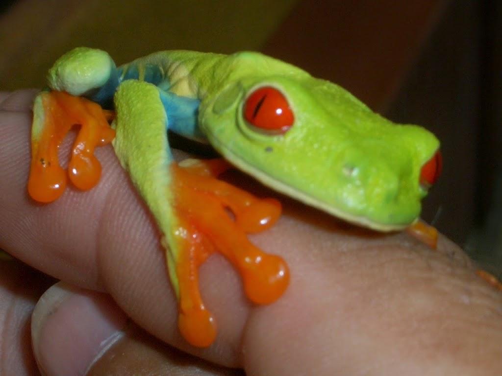 Rotaugen  Frosch