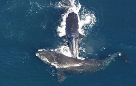 Οι φάλαινες του Βορείου Ατλαντικού μικραίνουν σε μέγεθος λόγω των αλιευτικών εργαλείων