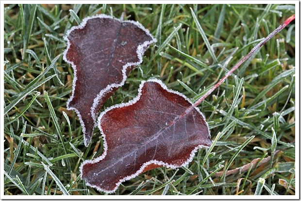 101216_two_leaves_with_frost