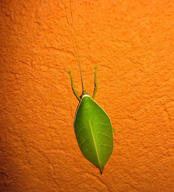 Probablement : Tettigoniidae : Pseudophyllinae : Zabalius aridus WALKER, 1869. Kibi (Ghana), 5 janvier 2006. Photo : Henrik Bloch