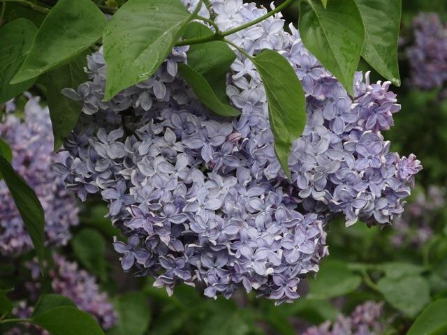 [lilac013.jpg]