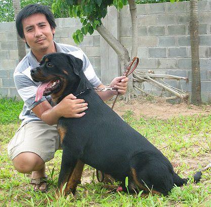 Trại chó Rottweielr Sơn nguyễn - trại chó rottweiler ở TPHCM