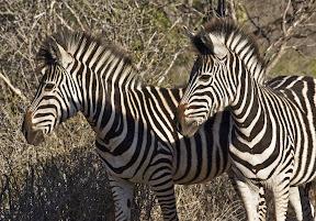 Zebra Pair, South Africa