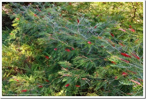 160813_UCSC_Arboretum_Grevillea-Red-Hooks_002