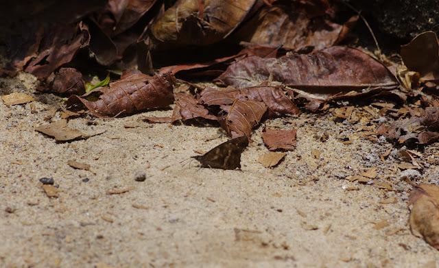 Libythea labdaca WESTWOOD, 1851. Yaoundé (Cameroun), 5 avril 2012. Photo : J.-M. Gayman