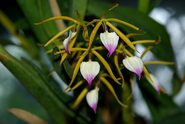 Растения из Тюмени. Краткий обзор - Страница 3 Epidendrum%252520brassavolae1