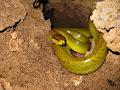 Red Tip Racer snake on a ledge just inside the entrance| photo © Matt Kirby