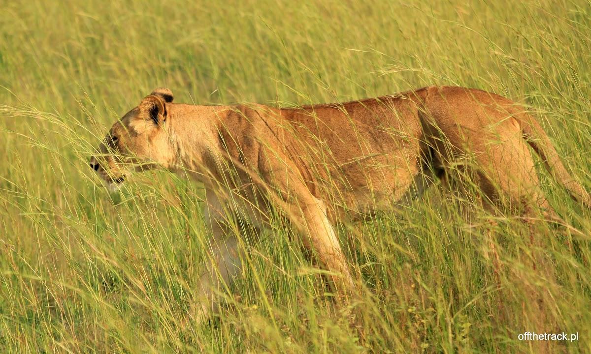 Idąca młoda lwica z bliska w trawie na polowaniu, park narodowy Murchison Falls, Uganda