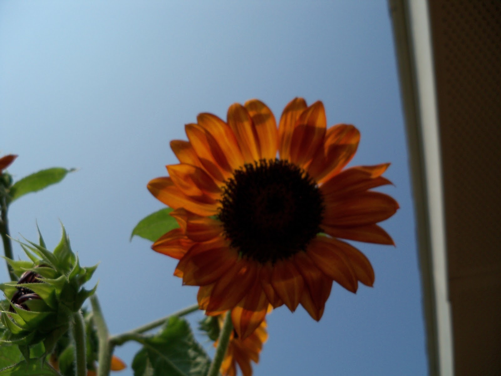 Gardening 2011 - 100_9456.JPG