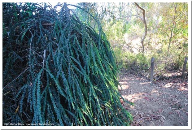 160813_UCSC_Arboretum_Acacia-pravissima-Golden-Carpet_001