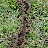 Piste de fourmis légionnaires du genre Dorylus (FABRICIUS, 1793) ou fourmis Magnan. Ebogo (Cameroun), 25 avril 2013. Photo : Daniel Milan