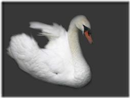 cisnes-buscoimagenes-25_thumb