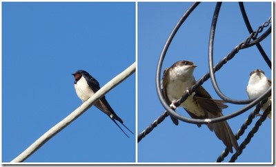 Swallow and House Martins