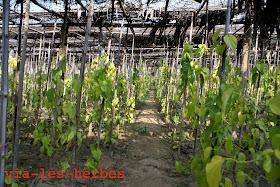 culture de betel.jpg