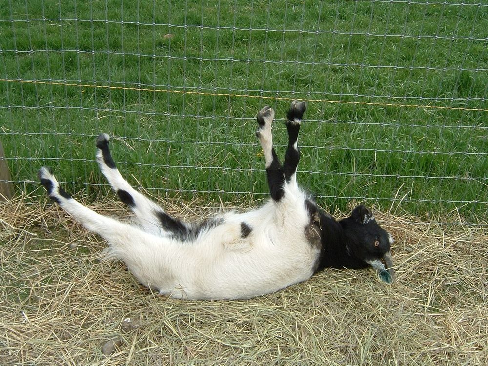 fainting-goat-2