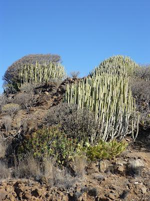 Gewächse im ariden Teil Gran Canarias.