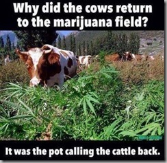 cows-pot