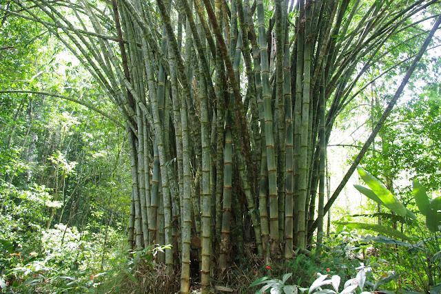 Bosquet de bambous. Sentier Monts La Fumée, Saül, 13 novembre 2012. Photo : J.-M. Gayman