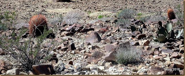 Barrel cactus and Beaver Tail cactus